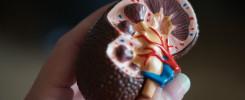 Die Niere, Was tun die Nieren eigentlich? Blog Beitrag Stefanie Kunze
